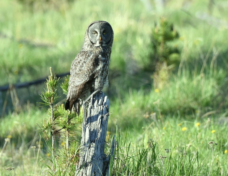 Great Gray Owl | Calgary, Alberta | June, 2015