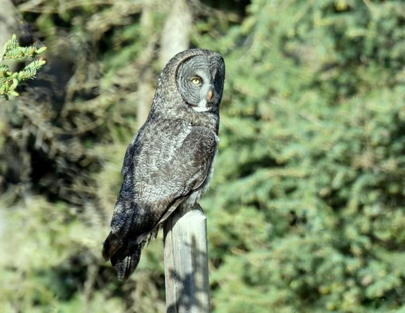 Great Gray Owl | Calgary, Alberta | June, 2015