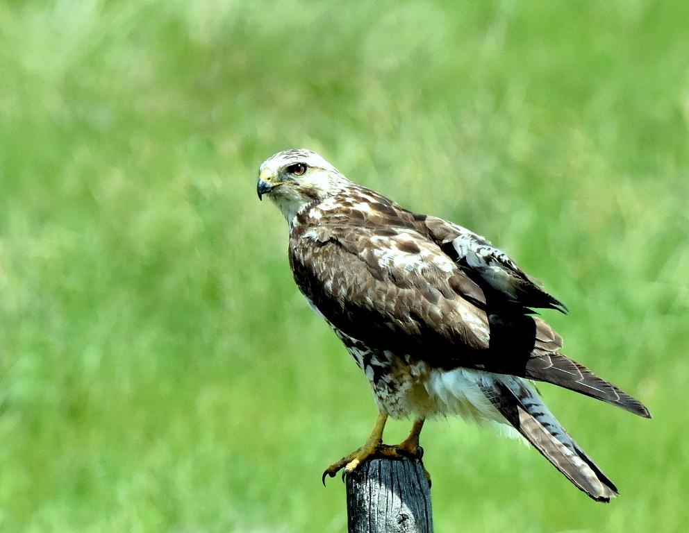 Swainson's Hawk – Juvenile | Del Bonita, Alberta | June, 2015