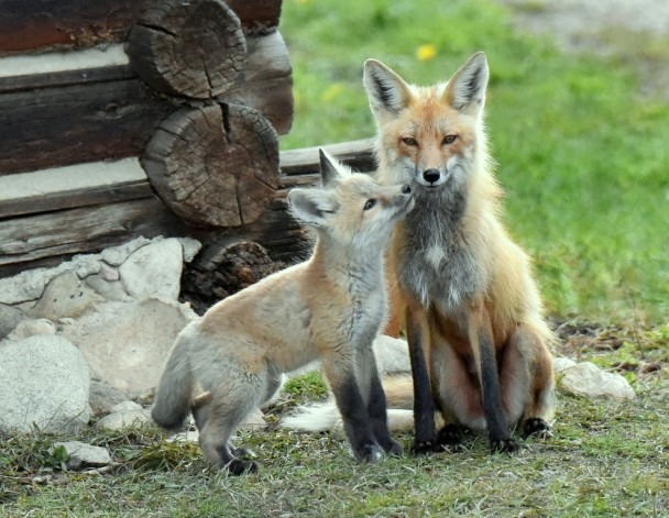 Red Fox – Female and Pup | Walden, Colorado | May, 2015