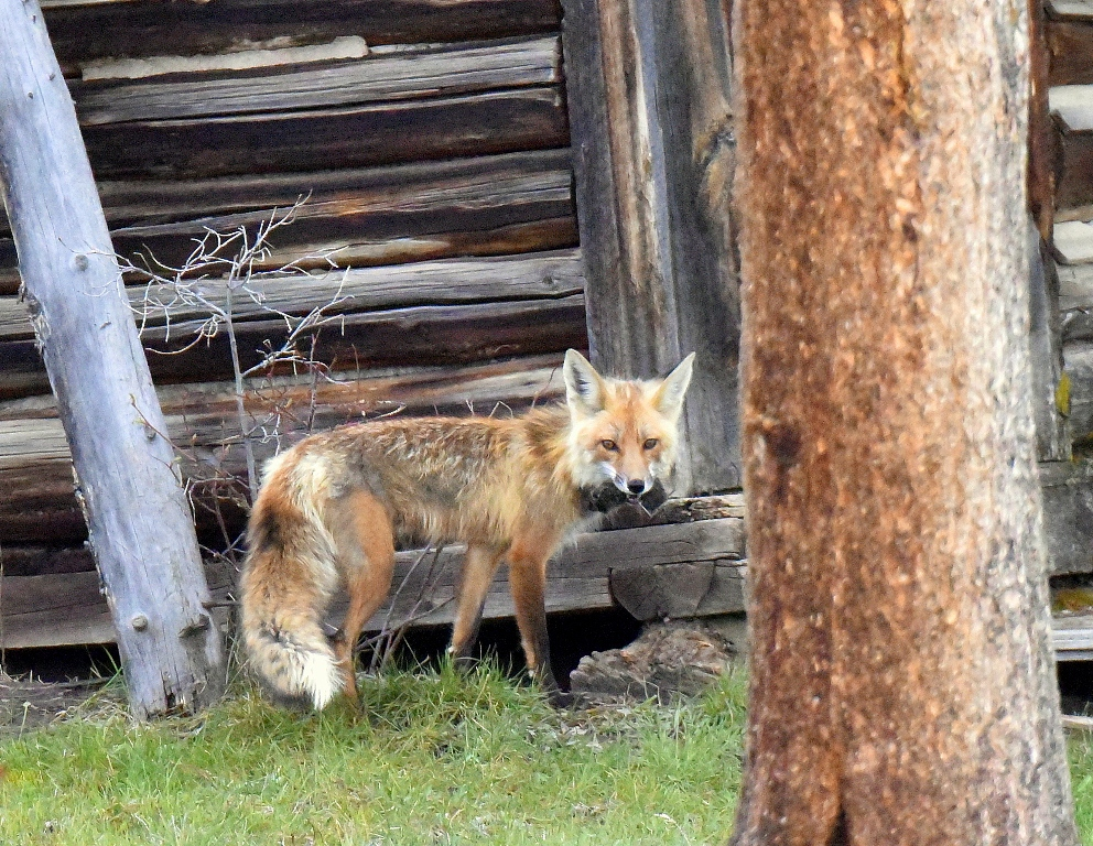 Red Fox – Female | Walden, Colorado | May, 2015