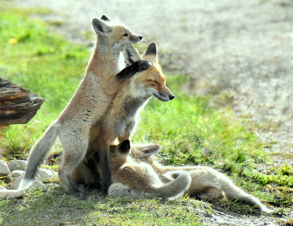 Red Fox – Female and Pups | Walden, Colorado | May, 2015