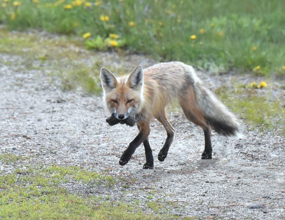 Red Fox – Female | Walden, Colorado | May, 2015