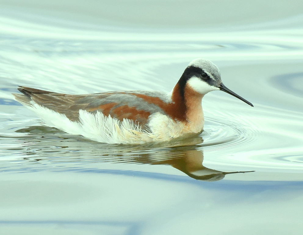 Wilson's Phalarope – Female | Walden, Colorado | May, 2015