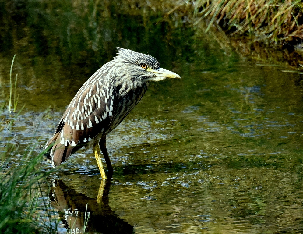 Black-crowned Night Heron – Juv. | Walden, Co. | August, 2015
