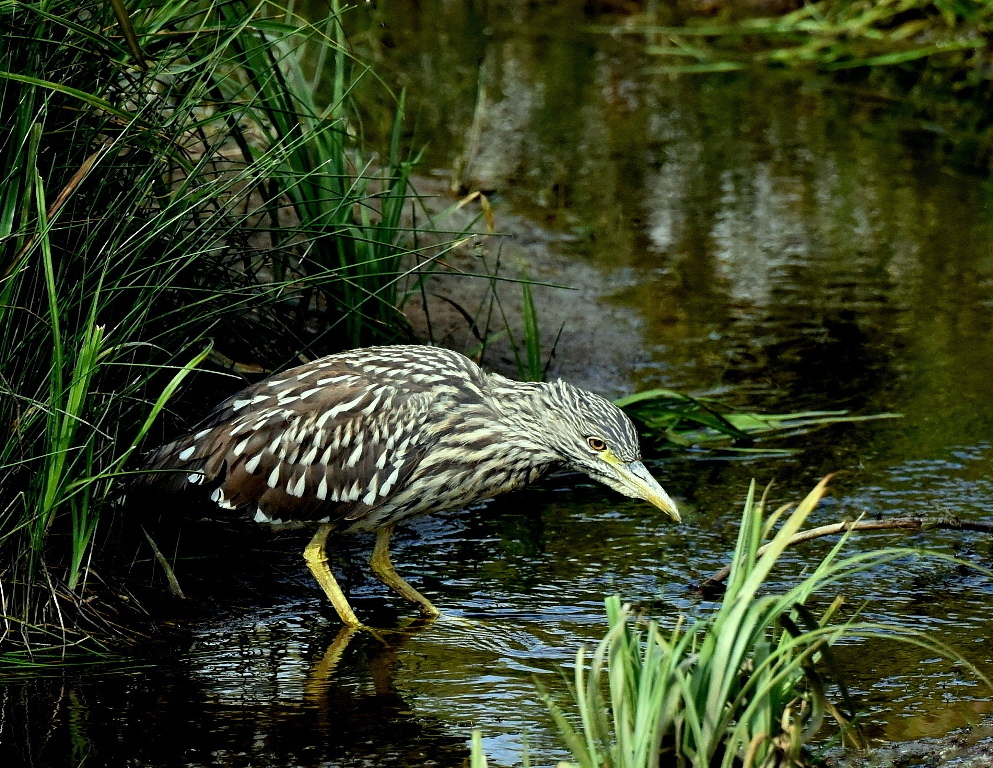 Black-crowned Night Heron – Juv. | Walden, CO. |  Aug., 2015
