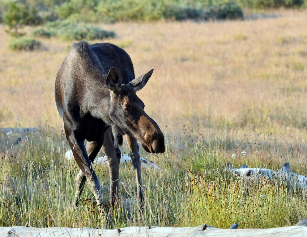 Moose – Cow | Walden, Colorado | August, 2015
