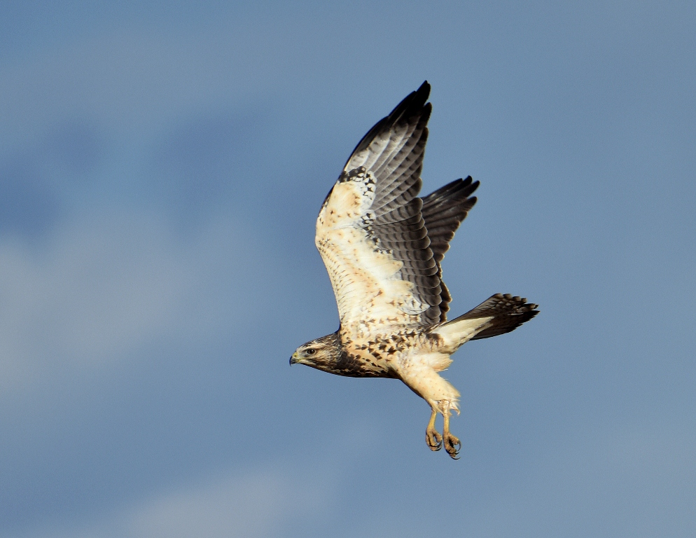 Swainson's Hawk | Las Vegas, New Mexico | September, 2015