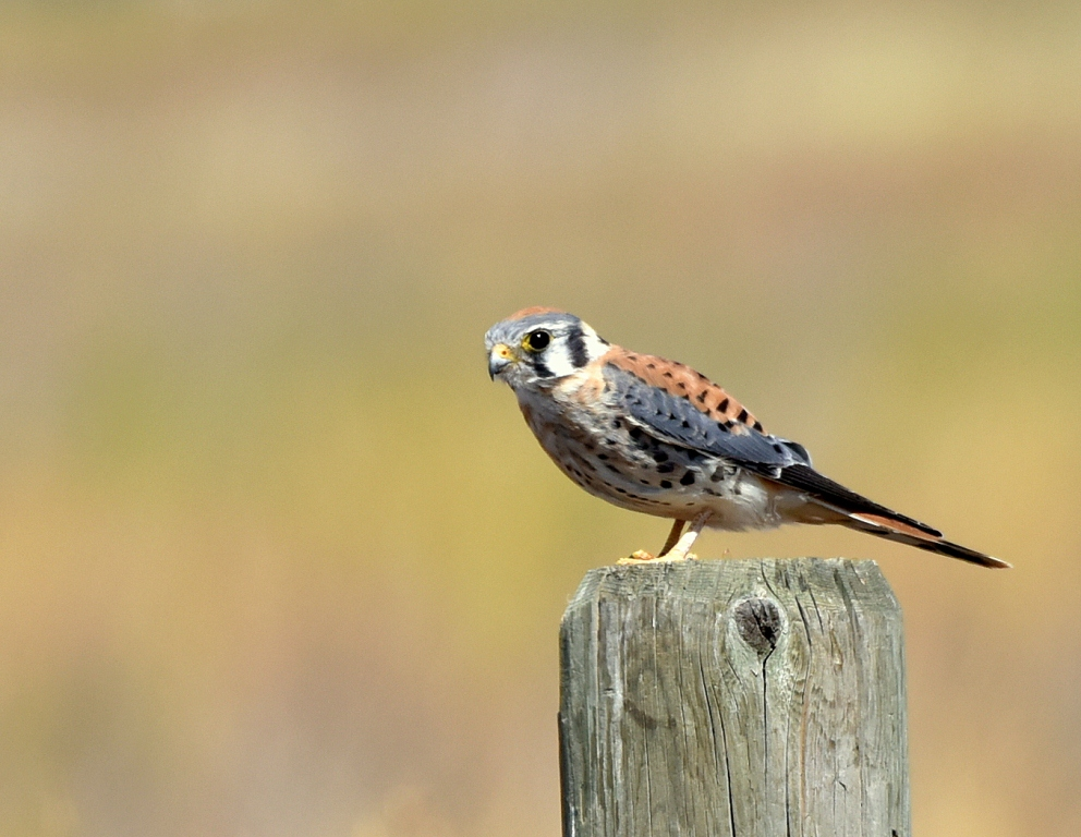 American Kestrel – Male | Las Vegas,New Mexico | September, 2015