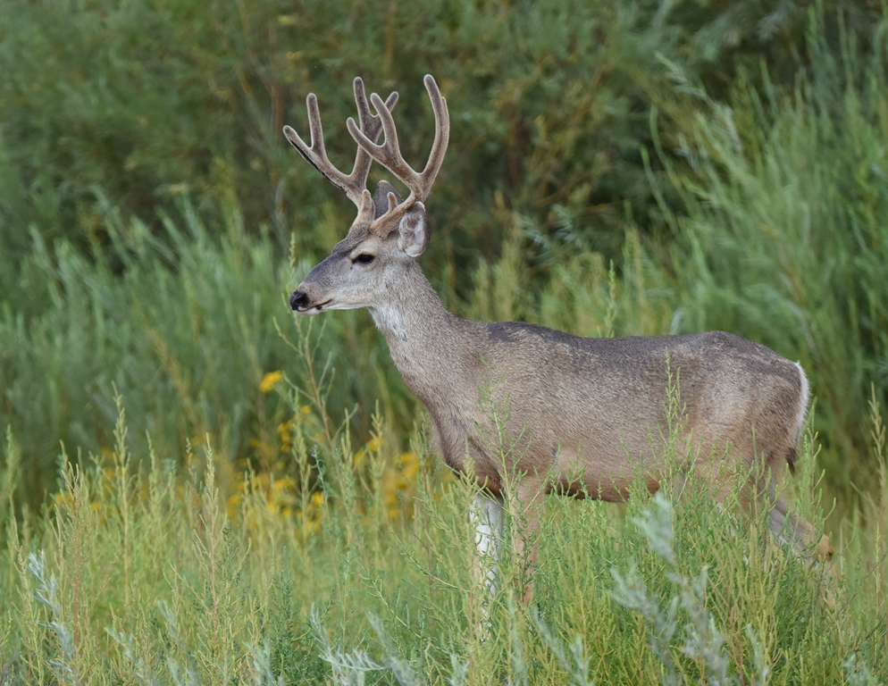 Mule Deer – Buck | Bosque del Apache | September,2015