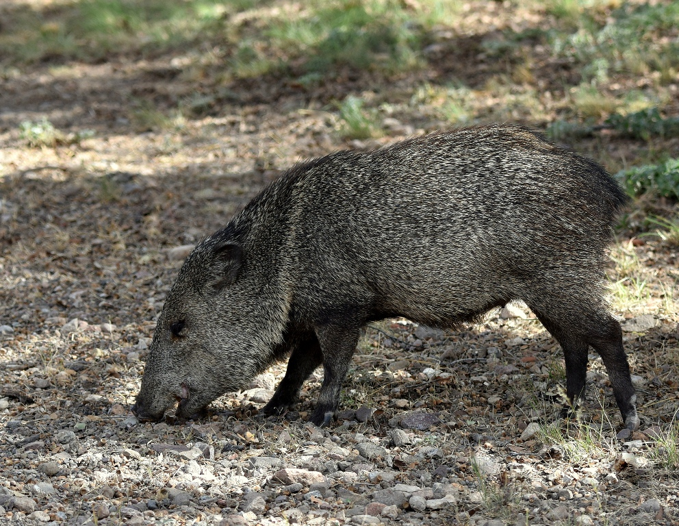 Javelina | Portal, Arizona | October, 2015