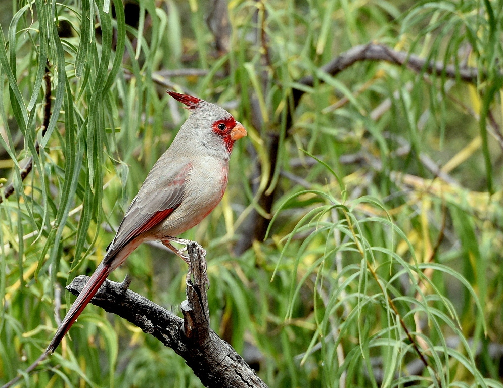 Pyrrhuloxia – Male | Portal, Arizona | October, 2015