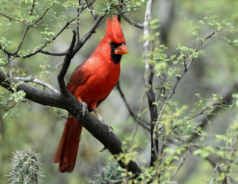 Northern Cardinal – Male | Portal, Arizona | October,2015
