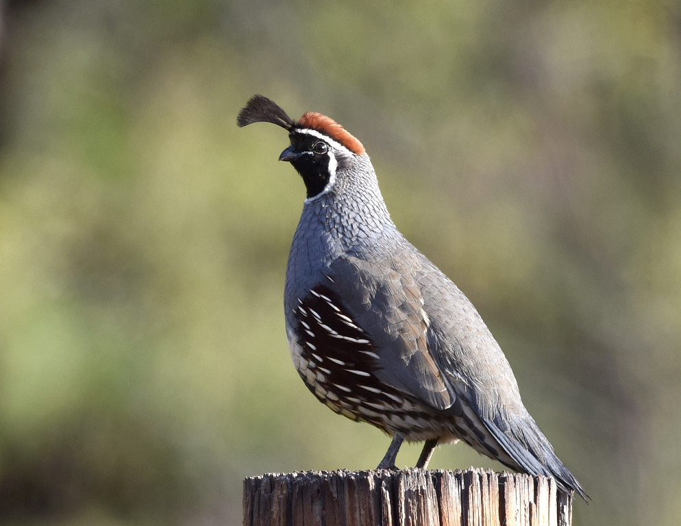 Gambel's Quail – Male | Portal, Arizona | October, 2014
