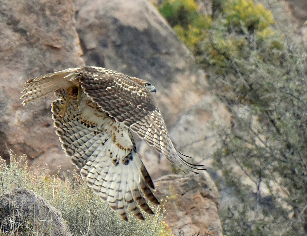 Red-tailed Hawk | Lordsburg, New Mexico | October, 2015