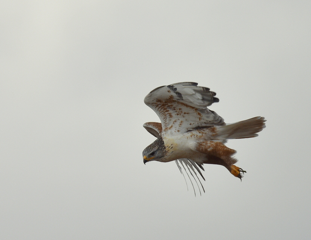 Ferruginous Hawk | Estancia, New Mexico | November, 2015