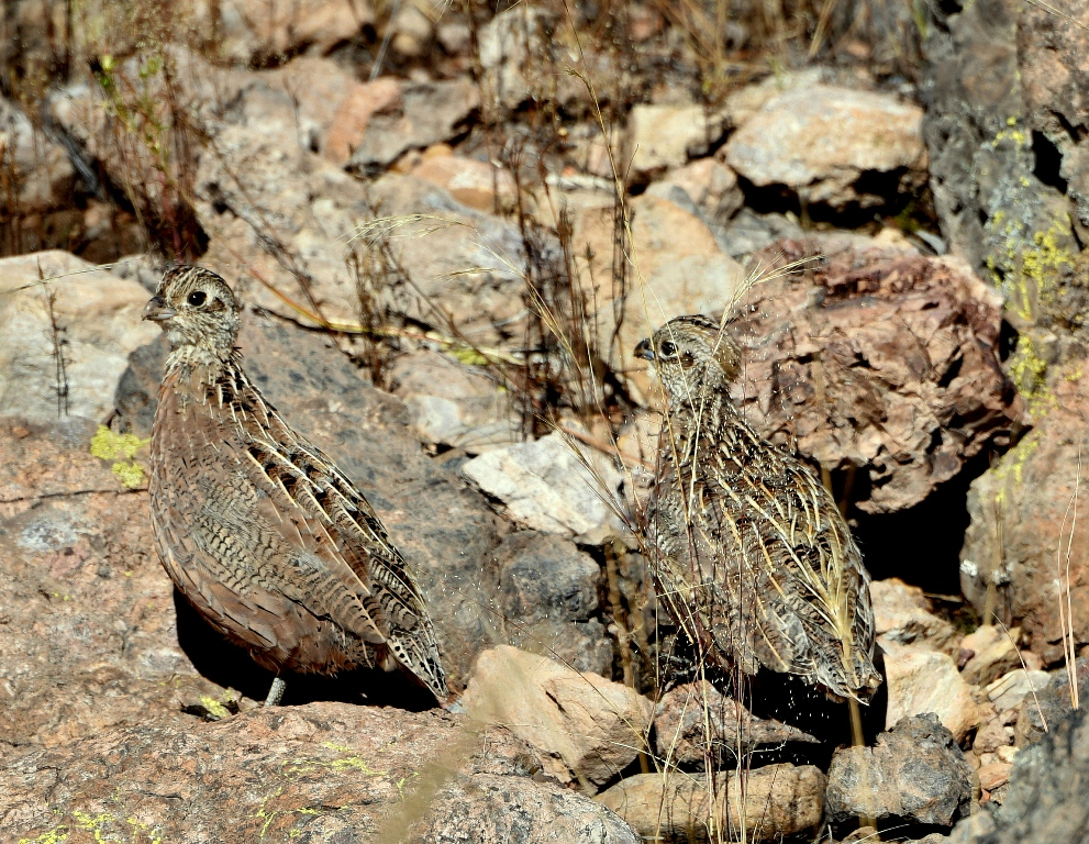 Montezuma Quail – Juvenile | Peloncillo Mts. New Mexico | October, 2015