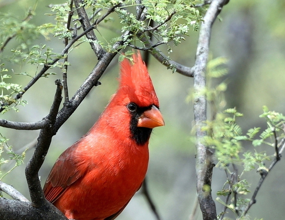 Northern Cardinal – Male | Portal, Arizona | October, 2015