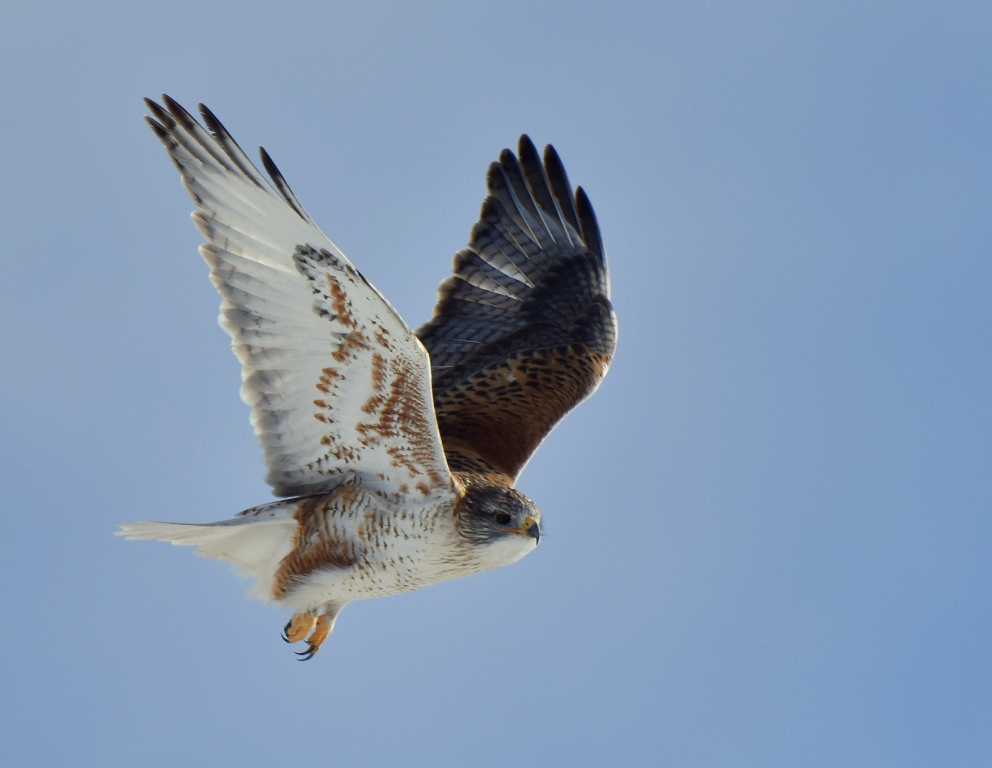 Ferruginous Hawk | Estancia, New Mexico | January, 2016