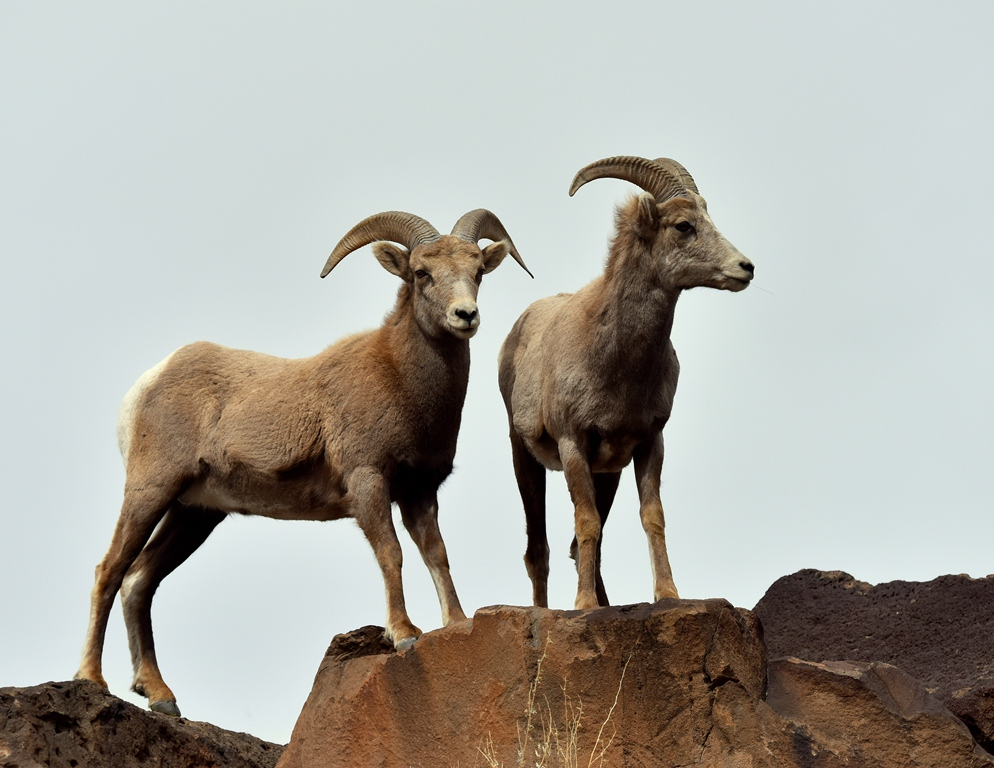 Bighorn Sheep – Rams | Pilar, New Mexico | February,2016