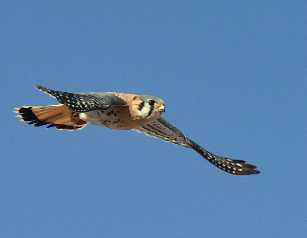 American Kestrel | Estancia, New Mexico | February, 2016