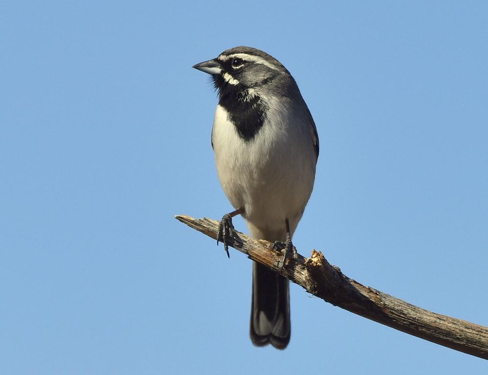Black-throated Sparrow   Portal, Arizona   January, 2016