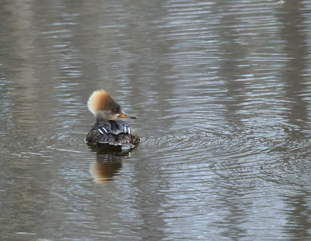 Hooded Merganser – Female | Moose WY. | Mar.,2016