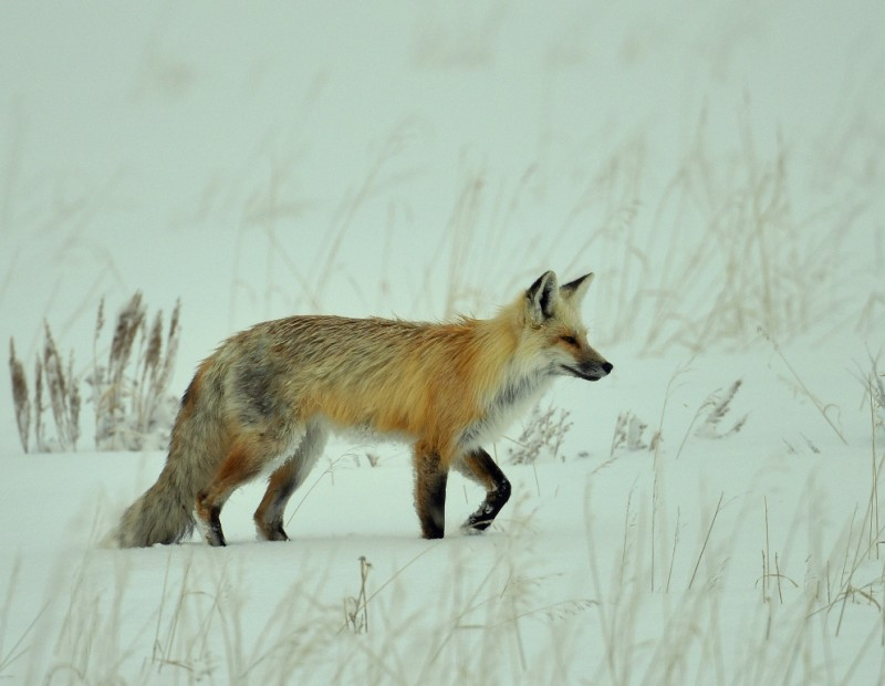Red Fox | Jackson, Wyoming | March, 2016