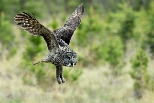 Great Gray Owl | Calgary, Alberta | May, 2016