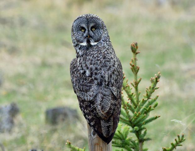 Great Gray Owl | Calgary, Alberta | May, 2016