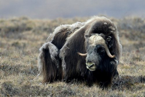 Musk Ox | Deadhorse, Alaska | May, 2016