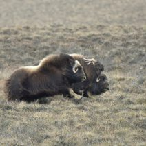 Musk Ox | Deadhorse, Alaska | May, 2016