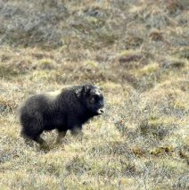 Musk Ox Calf | Deadhorse, Alaska | May, 2016