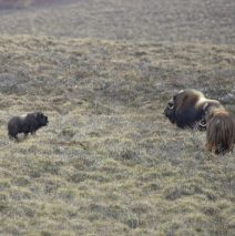 Musk Ox Cows and Calf | Deadhorse, AK, | May, 2016