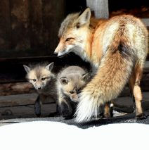 Red Fox and Cubs | Walden, Colorado | May,2016