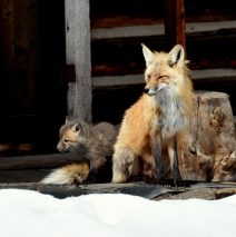 Red Fox and Cub | Walden, Colorado | May, 2016