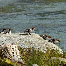 Common  Merganser –  Juvenile | Haines, Alaska | June, 2016