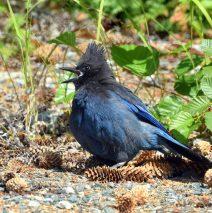 Steller's Jay | Haines, Alaska | June, 2016