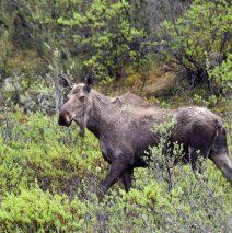 Moose – Cow | Eagle Plains, Yukon | June, 2016