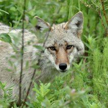 Coyote | Ft. Nelson, British Columbia | June, 2016