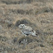 Short-eared Owl | Deadhorse, Alaska | May, 2016