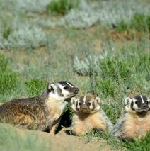 American Badger- Adult and Cubs | Walden, Colorado | May, 2016