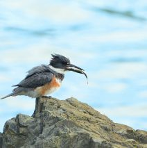 Belted Kingfisher | Haines, Alaska | June, 2016