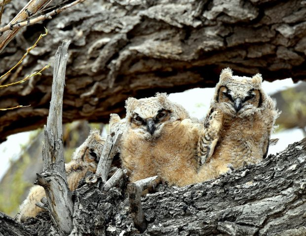 Great Horned Owl Fledglings | Alamosa, Colorado | May, 2016