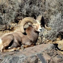 Bighorn Sheep – Ram | Pilar, New Mexico | January, 2017