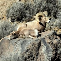 Bighorn Sheep – Ram and Juvenile | Pilar, New Mexico | January, 2017