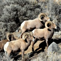 Bighorn Sheep – Rams | Pilar, New Mexico | January, 2017