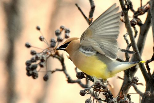 Cedar Waxwing | Albuquerque, N.M. | January, 2017