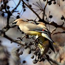 Cedar Waxwings | Albuquerque, N.M. | February, 2017