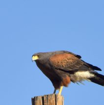 Harris's Hawk | Alamogordo, N.M. | February, 2017
